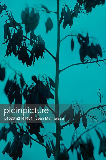 Five-seeded plume-poppy pods (Macleaya cordata) - p1028m2141454 by Jean Marmeisse