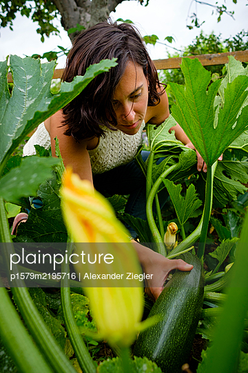 Woman harvesting giant courgette in the self-sufficient garden - p1579m2195716 by Alexander Ziegler