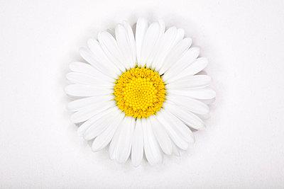 Gänseblümchen - p1057m1010261 von Stephen Shepherd
