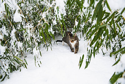 Housecat playing in the winter snow - p1166m2247113 by Cavan Images