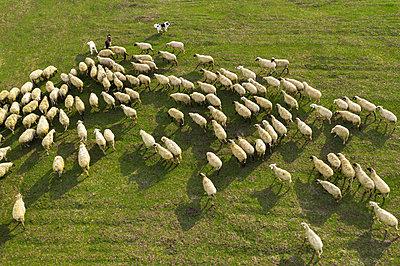 Aerial view of flock of sheep on pasture - p1166m2261599 by Cavan Images