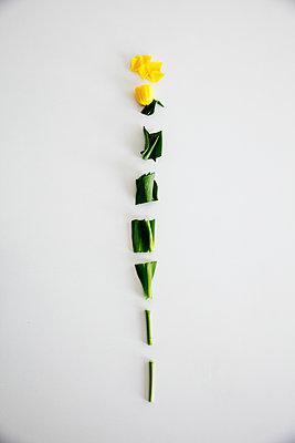 Tulpenstücke aufgereiht - p1212m1119468 von harry + lidy