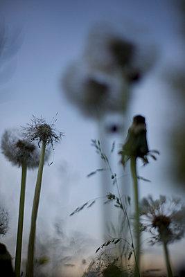 Pusteblumen am Abend - p1980144 von David Breun
