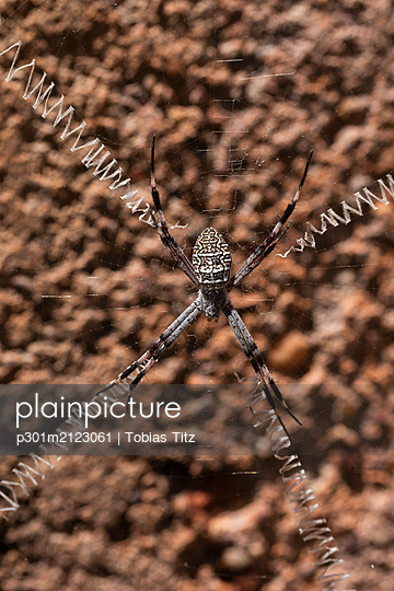 Close up spider with long legs spread over spider web - p301m2123061 by Tobias Titz