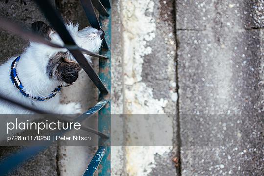 Parson Jack Russell-Terrier hält Ausschau - p728m1170250 von Peter Nitsch