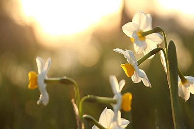 Narcissus - p307m962297f by Tetsuya Tanooka