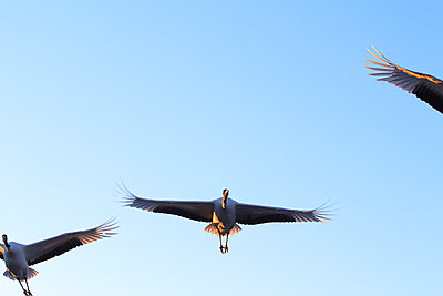 Low angle view of Red-crowned cranes flying against clear blue sky during sunny day - p1166m2112524 by Cavan Images
