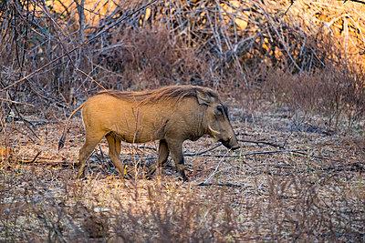 Einzelnes Warzenschwein im Südluangwa-Nationalpark - p842m1538207 von Renée Del Missier