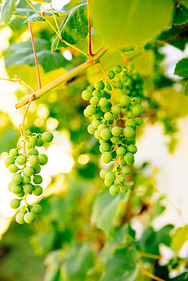Close up of grapes growing on vine in vineyard - p555m1415552 by Inti St Clair