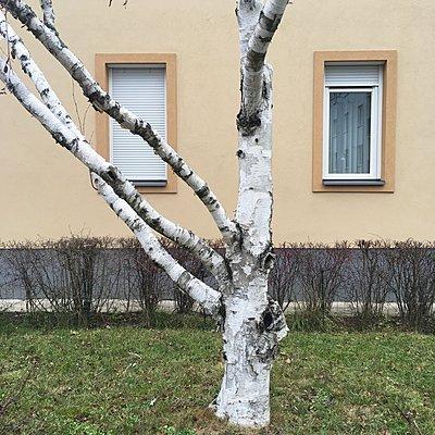 Österreich, Wien, Birke vor einem Haus - p1401m2237560 von Jens Goldbeck