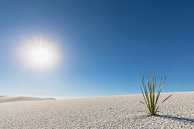 USA, New Mexico, Chihuahua Desert, White Sands National Monument, plant on desert dune - p300m1417168 by Fotofeeling