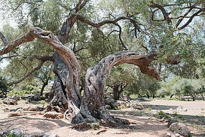 Old olive tree - p1683m2272030 by Luisa Zanzani