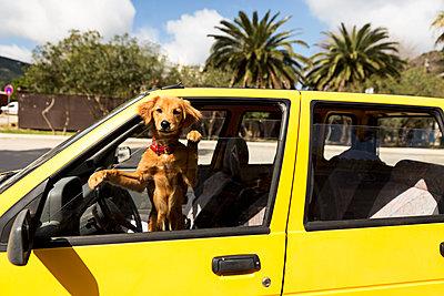 Dog looking through car window - p312m1470778 by Susanne Kronholm