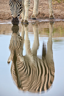 Common zebra    reflection, Kruger National Park, South Africa, Africa - p871m1056790f by James Hager