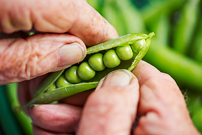 A man opening a peapod to see the fresh peas growing inside it  - p1100m1178028 by Mint Images