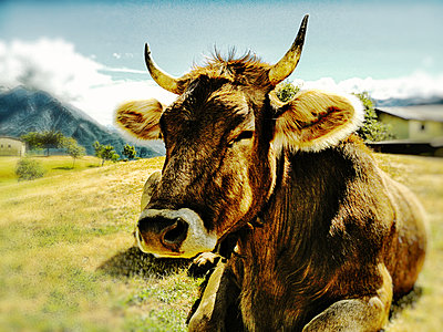 Italy, near Lake Como, Alm with ruminating cow - p300m1008783f by SRS