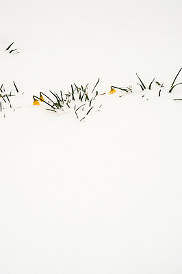 Daffodil plants and flowers covered in snow - p1047m1539870 by Sally Mundy