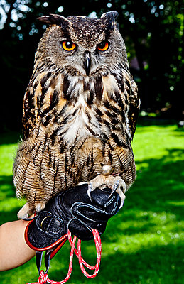 Eagle owl - p1221m1055735 by Frank Lothar Lange