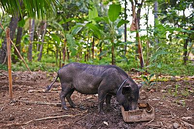 Balinesisches Hausschwein im Wald - p390m958977 von Frank Herfort