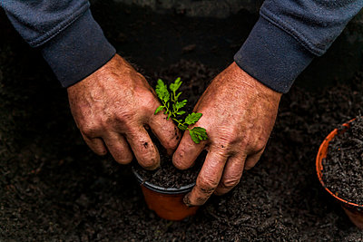Man planting tomato plants - p867m1051261 by Thomas Degen