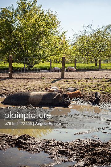 Schweineglück - p781m1172455 von Angela Franke