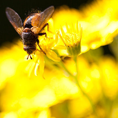 Extreme close up of fly perched on yellow flower - p1023m903329f by Marie Stone