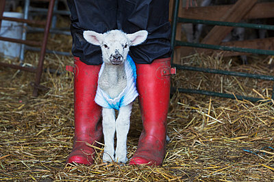 Newborn baby lamb dressed in a knitted jumper standing between the legs of a person wearing red Wellington Boots. - p1100m1450945 by Mint Images