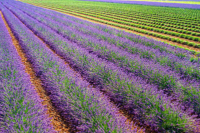 Lavender field after workers began harvesting the first rows of lavender in early July - p1166m2136848 by Cavan Images