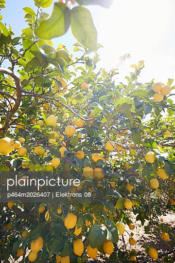 Zitronenbaum - p464m2026407 von Elektrons 08