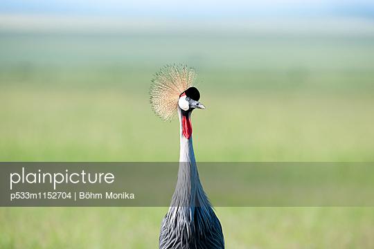 Aufmerksamer Kronenkranich - p533m1152704 von Böhm Monika