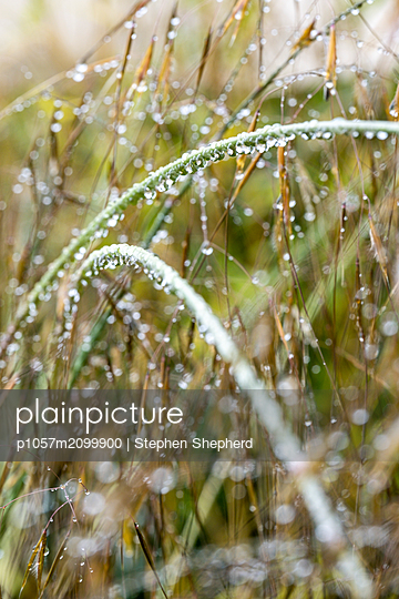 Reed covered with raindrops - p1057m2099900 by Stephen Shepherd