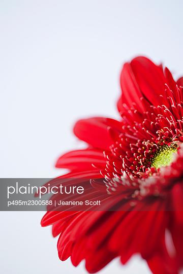Red Gerbera daisy flower, close-up - p495m2300588 by Jeanene Scott