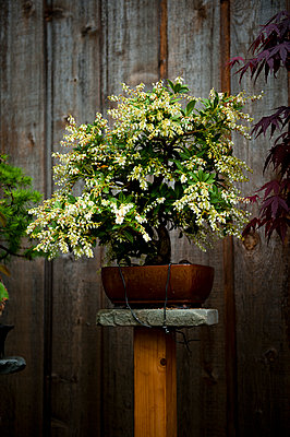 Bonsai mit Blüten - p1273m1556633 von Melanka Helms