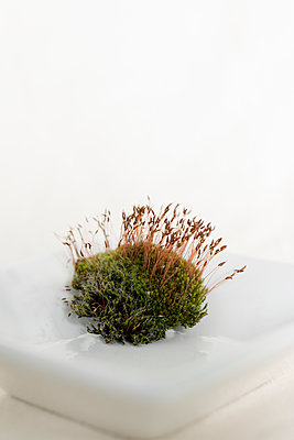 A small piece of moss with young red sporophytes on a white porcelain bowl. - p1433m1589993 by Wolf Kettler