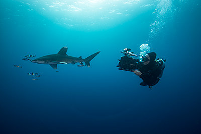 Scuba diver swimming with white tip shark and pilot fish, underwater view, Brothers island, Egypt - p429m1407878 by Rodrigo Friscione