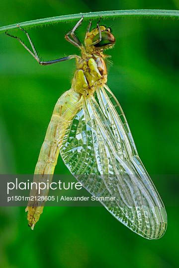 Vagrant Sympetrum, freshly hatched - p1501m2128605 by Alexander Sommer