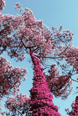 Rosa blühender Baum - p1189m1222231 von Adnan Arnaout
