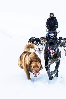 Dogs pulling sleigh with man - p312m1522127 by Lena Granefelt
