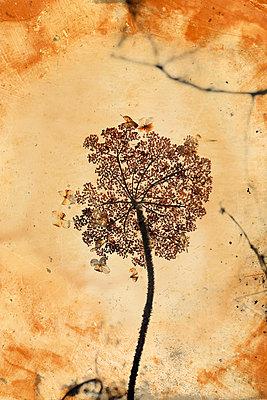 Blütenstand  - p450m1030693 von Hanka Steidle