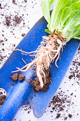 Salad plant with roots - p1149m2038769 by Yvonne Röder