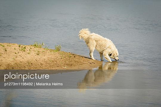 trinkender Hund am Fluss - p1273m1198492 von melanka