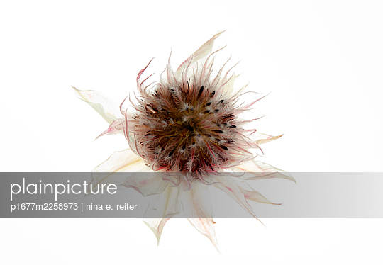 Blossom of African king sugar bush against white background - p1677m2258973 by nina e. reiter