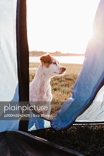 Close-up of puppy sitting against clear sky during sunset seen through tent - p300m2242428 by Eva Blanco