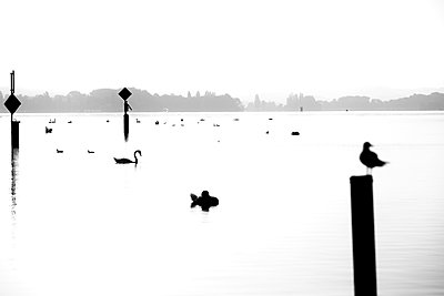Seagulls and swans at sunset, Lake of Constance - p1299m2289456 by Boris Schmalenberger