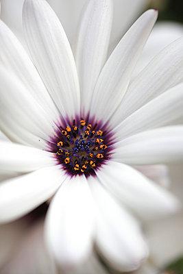 Weiße Blüte - p1790710 von Roland Schneider