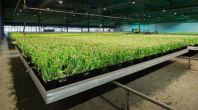 Tulips growing in greenhouse - p429m801680 by Mischa Keijser