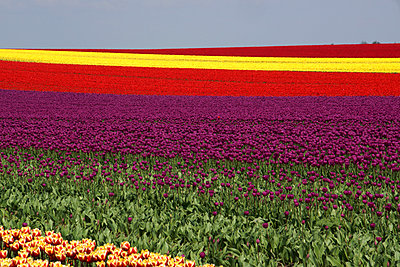 Field with tulips - p162m925850 by Beate Bussenius