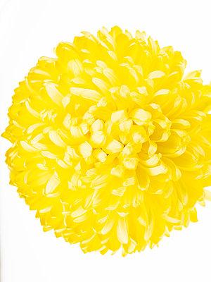 Chrysanthemum flower - p401m2281077 by Frank Baquet