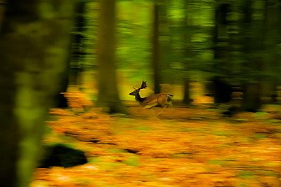 Rotwild im Frankurter Stadtwald - p417m758418 von Pat Meise