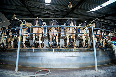 Cows being milked on a dairy farm; Cullinan, Gautang, South Africa - p442m1139105 by Remsberg Inc